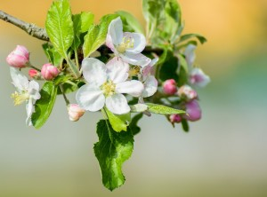 apple-tree-flowers-2254916_960_720